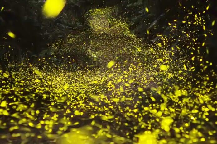 「阿里山螢火蟲季限定-那一年的星空野餐半日遊」賞螢活動。(天成文旅-繪日之丘提供)
